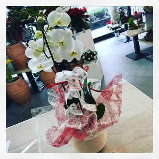 Orchidea Phalaenopsis confezione natale