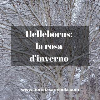 Helleborus_ la rosa d'inverno