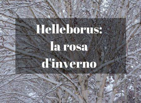 Helleborus: la rosa d'inverno