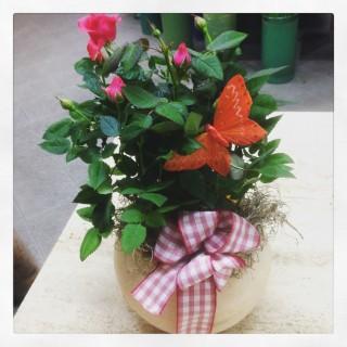pianta di rose su vaso di cera per uso lanterna