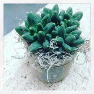 succulenta in vaso si ceramica stile sabbi chic