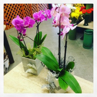 orchidea Phalaenopsis con cubo in legno San Valentino