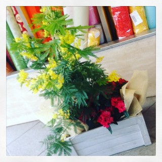 mimosa in pianta