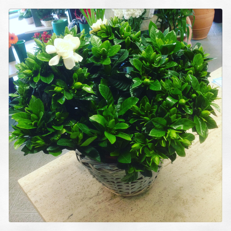 Piante Da Regalare A Pasqua la pianta di oggi: la gardenia
