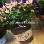 Come curare l'Azalea in Vaso