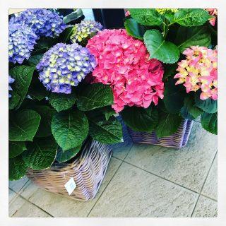 Ortensie o Hydrangea una pianta fiorita