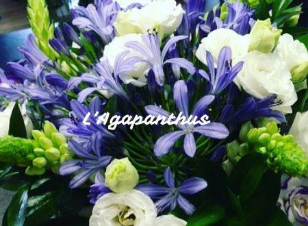 L'Agapanthus