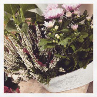 piante crisantemi composizioni