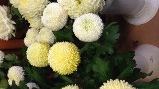 crisantemi pon pon