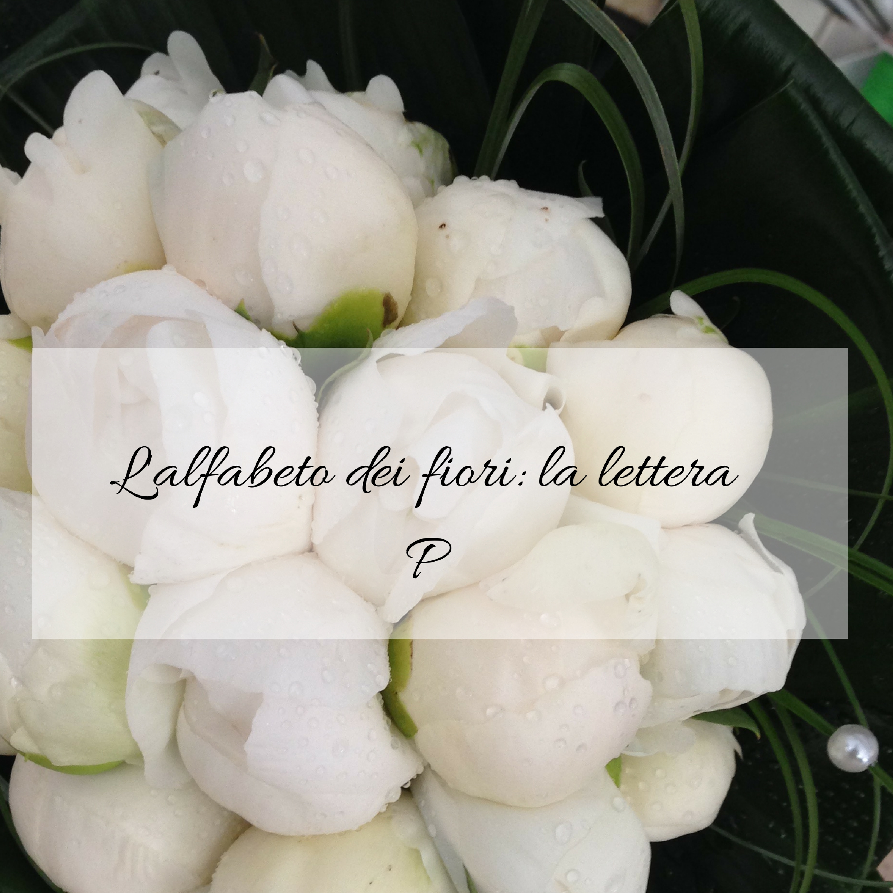 Fiori Bianchi Con 11 Lettere.L Alfabeto Dei Fiori La Lettera P Idee Fiorite