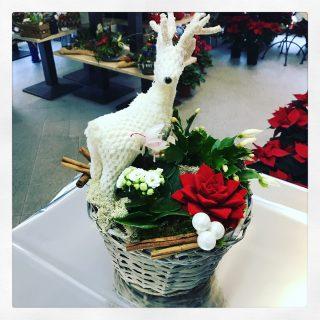 composizione in cesto con piante natalizie e Renna bianca, Kalanchoe, Cactus Natale e succulenta