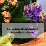La Campanula, una pianta decorativa e colorata.