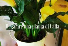 Regalare una pianta di Calla
