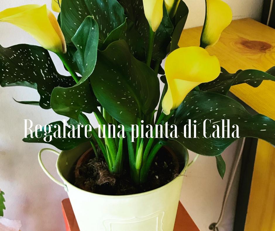 Regalare una pianta di calla idee fiorite for Calle colorate non fioriscono