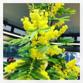 La mimosa, il fiore simbolo dell'8 marzo giorno della Festa della Donna