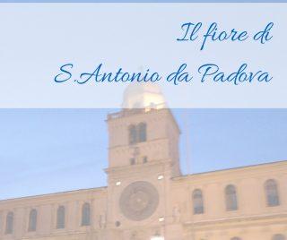 Il fiore di S.Antonio da Padova