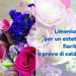 Limonium per un estate fiorita a prova di caldo