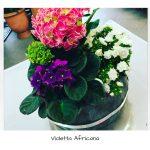 Piante: Violetta Africana