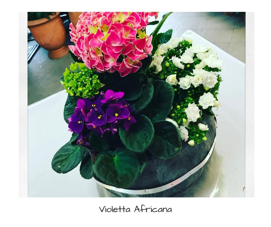 Violetta africana idee fiorite for Violetta africana
